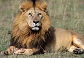lion Kenya Mombasa safari Jasmin Please Blogg