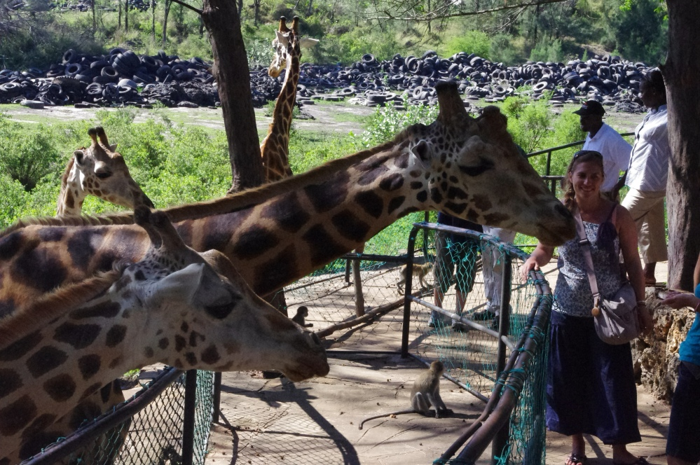 Giraffe Feeding Haller Park Kenya Mombasa