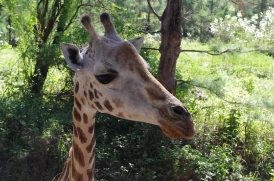 Giraffe Kenya Mombasa Haller Park