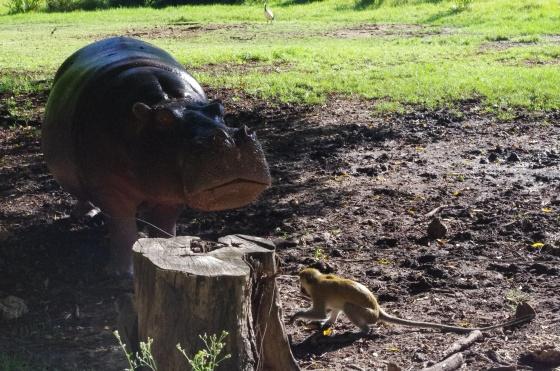 Hippo feeding Haller Park