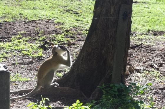 Monkey Africa Kenya Mombasa Haller Park eating
