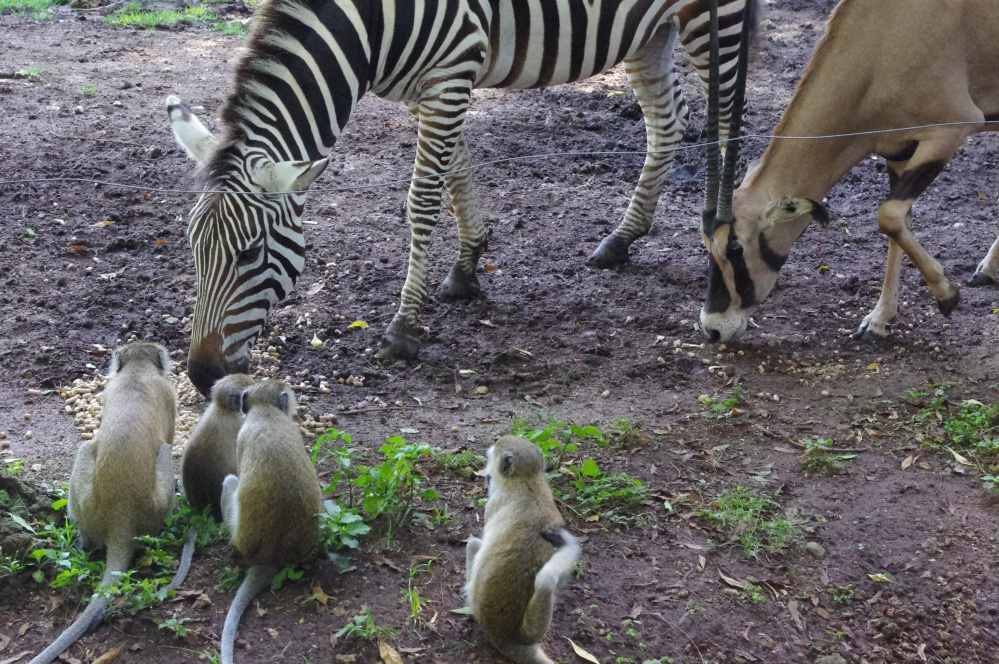 Zebra Mombasa Kenya Haller Park