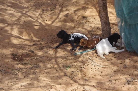 Maasai tribe goats