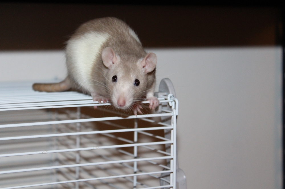 Sand color rat beautifu rat pet