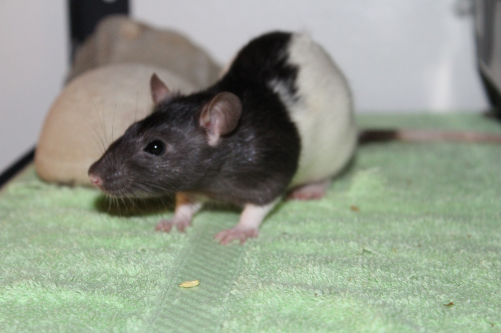 Pinky and the brain - rat - pet rat - grey female rat - small english rat - cute