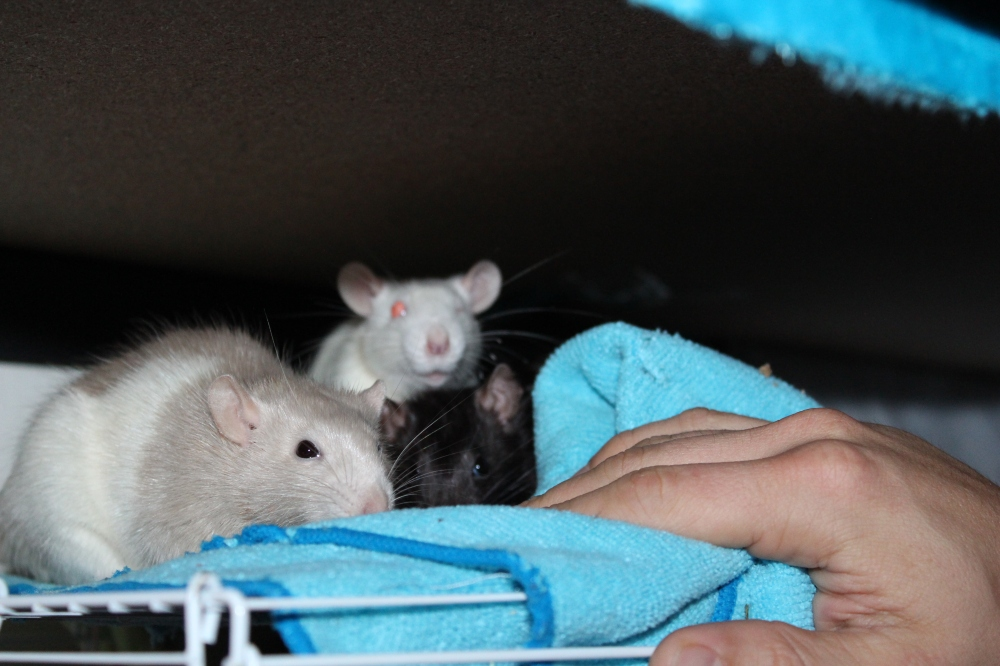 Rats cosying up together