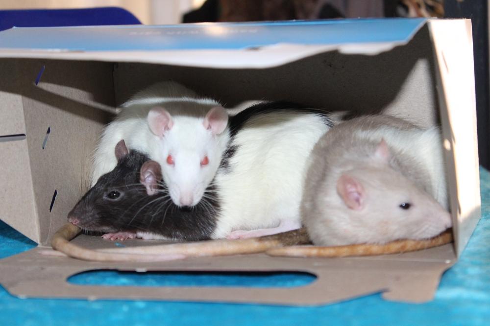 Pinky and The Brain - Pet rats - Snowby Wan Kanoby - Albino rat
